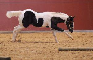 painted-r-ranch-nachzucht-lenas-handsome-strait-003